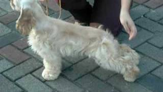 "Am.cocker Spaniel Import Korea...""kissy"" Jakarta  Video 2.avi"