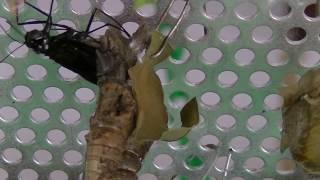 羽化直前になると、成虫に色が蛹の皮膚を透かして見えるようになります...