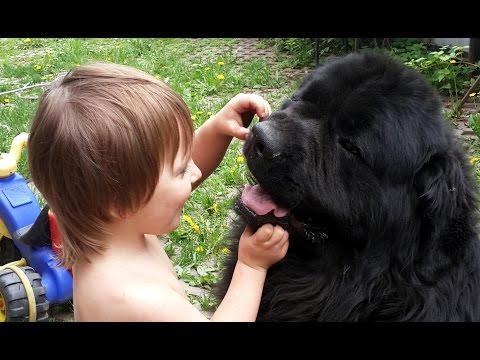 Ваня играет в мячик с большой  собакой породы ньюфаундленд