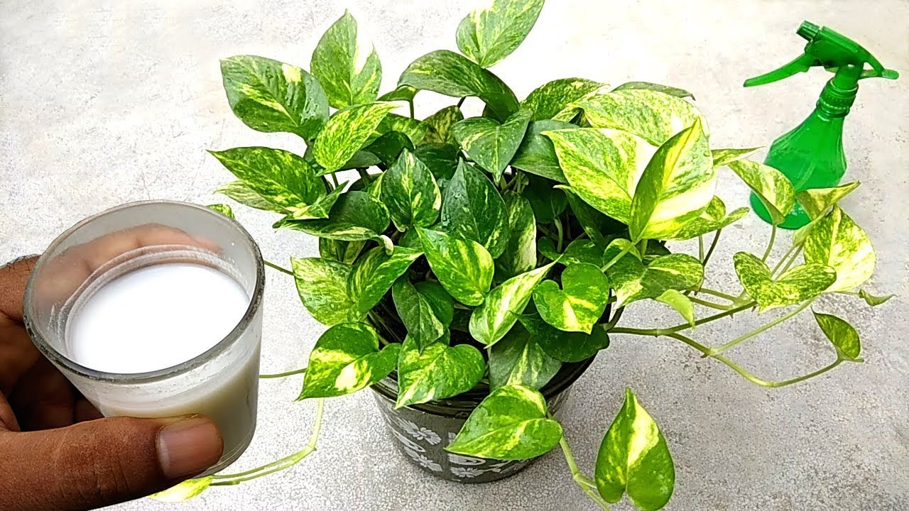Best natural liquid fertilizer for plants , specially money plants