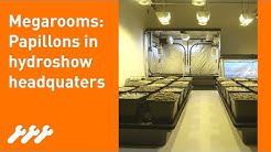 The best hydroponic grow room? Papillons and Wilma Big Pots #37
