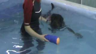 Rottweiler Sid At Adams Canine Hydrotherapy Tel: 01283 521699 Www.adamscaninehydrotherapy.co.uk