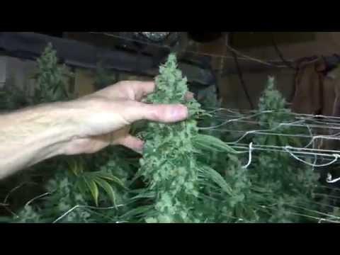 Sour Diesel Harvest - 9000 Watt Day 78 Flowering