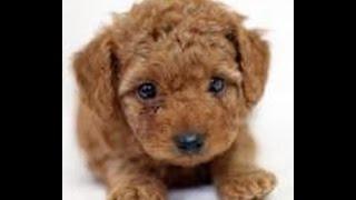 トイプードルってどんな犬? プードル(英語:Poodle、仏語:Caniche)は...