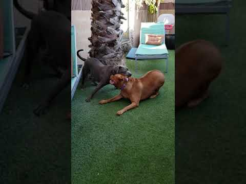 Dogue de Bordeaux and pitbull rescued available for ADOPTION