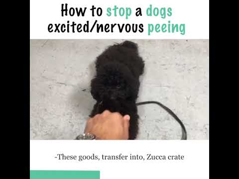How To Address A Dogs Excitednervous Peeingurination Youtube