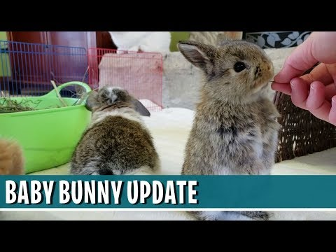 Baby Bunny Update - 1-MONTH-OLD HOLLAND LOP BUNNIES!