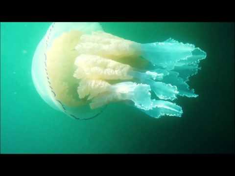Biggest Barrell Jelly Fish Filmed In British Waters