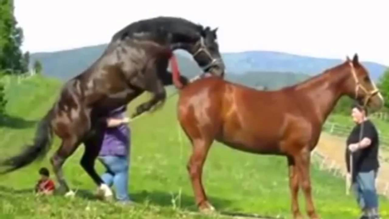 Horse Mating With Horse - Animals Having Fun With Each