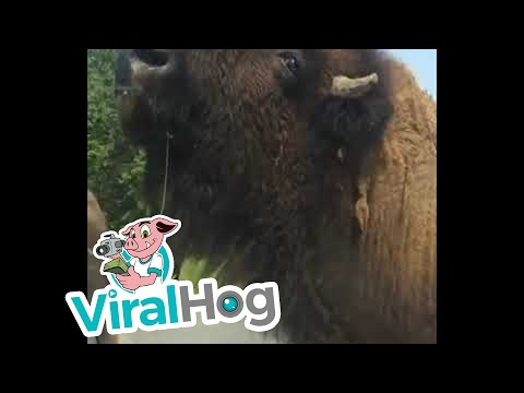 Bison Uses Car as Scratch Post