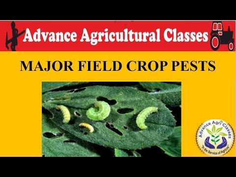MAJOR FIELD CROP PESTS (Hindi/English) Agricultural Field Officer