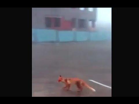 Местному жителю удалось снять на видео лису на 7 ветрах Новороссийска. 14.04.2015