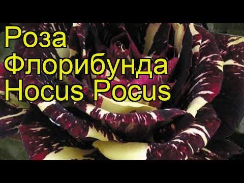 Роза флорибунда Фокус Покус. Краткий обзор, описание характеристик, где купить саженцы