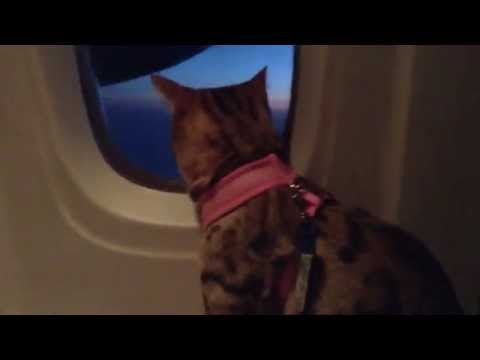 Flying cat on plane so funny