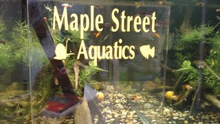 Daphnia culture in an aquarium