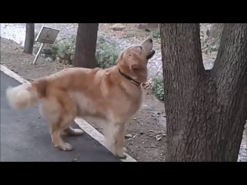 Funniest Cutest Golden Retriever Video Compilation 2016 HD - Cute Dog Videos