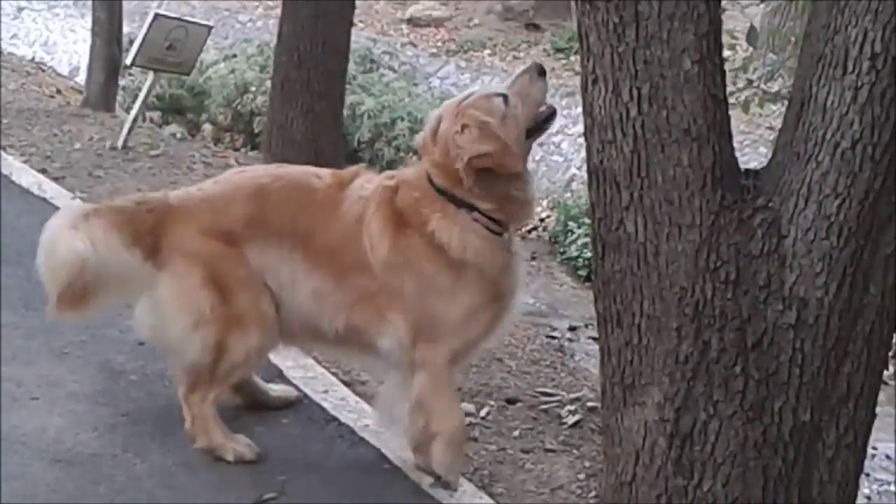 funniest cutest golden retriever video compilation 2016 hd - cute