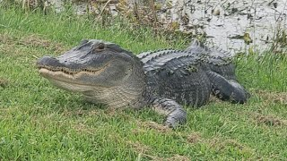 Snakes, Gators, and other Creatures in The Villages, Florida