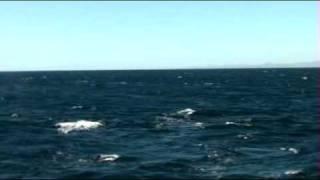humpbacks at gorda banks