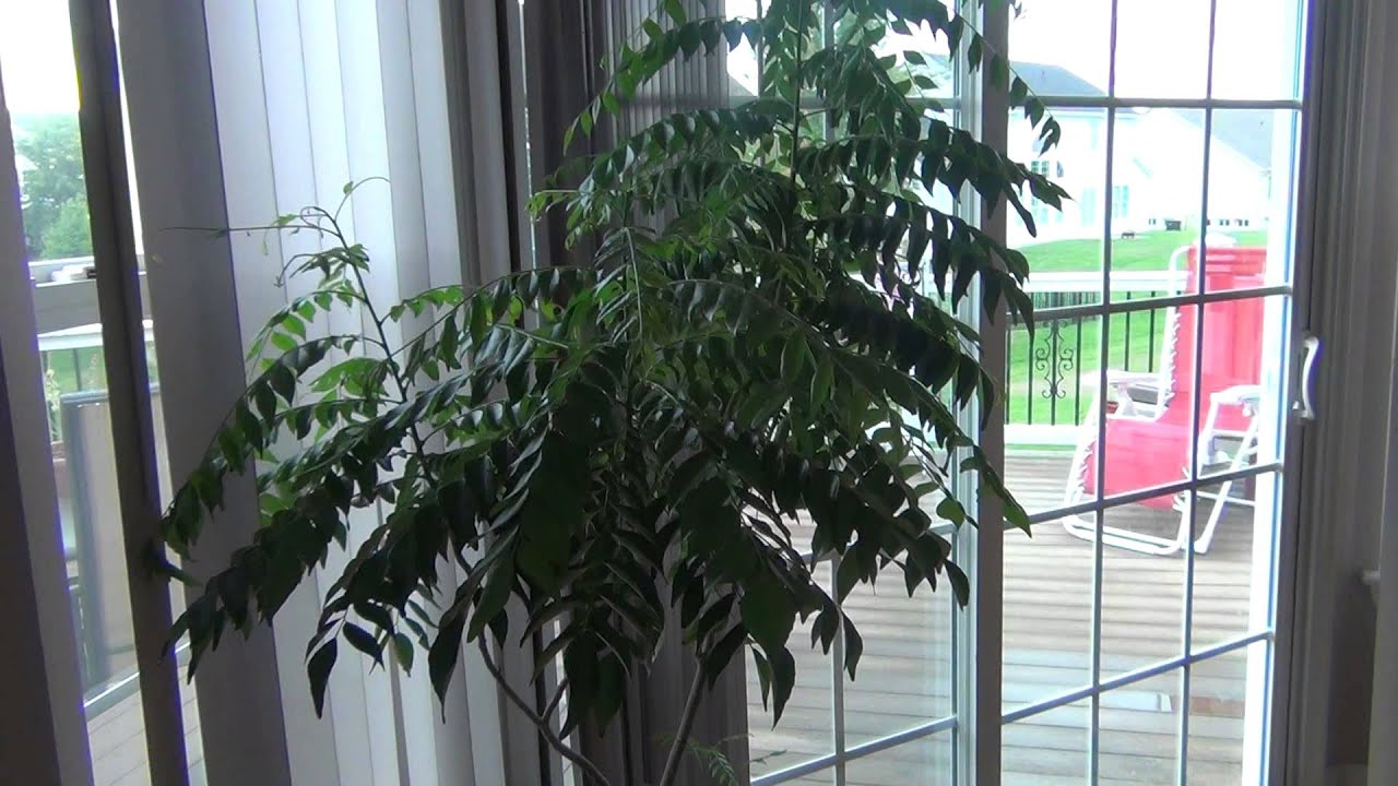 Curry Leaves Plant Growing In Pot Youtube