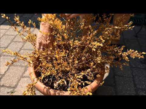is-my-shrub-really-dead?-gardening-tutorial-by-maria-von-brincken,-landscape-designer