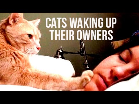 Best Funny Cats Waking Up Owners Compilation | Funnycat 12