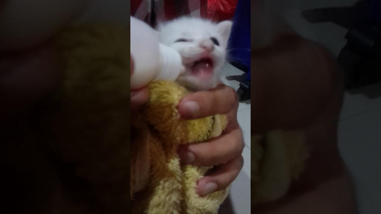 Teknik Dan Cara Memberi Susu Kepada Anak Kucing Menggunakan Botol Yang Berumur Kurang Sebulan Youtube