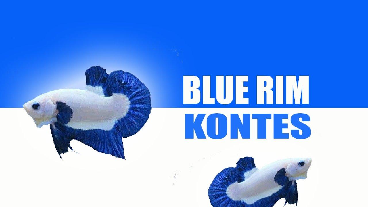 Ikan Cupang Blue Rim Kontes - YouTube