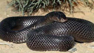Animaux du désert : Le Cobras