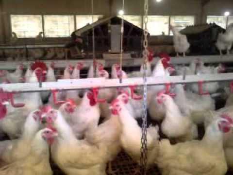 Gallinas ponedoras en mallorca granjas de esclavos for Proyecto de criadero de mojarras