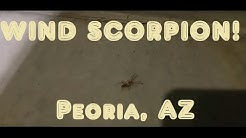 Wind Scorpion! Peoria, Arizona.