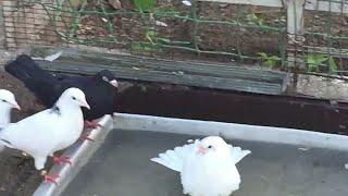 #Pigeon.Про породы голубей.