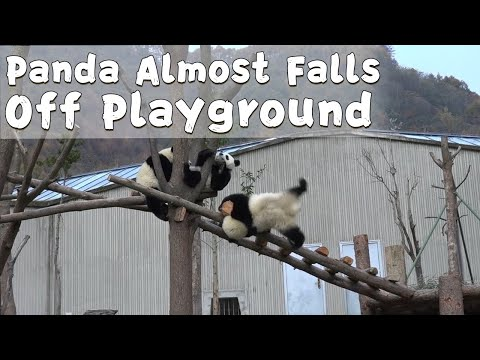 Nancy & Newman - Panda Gets in Some Exercise After Near Fall