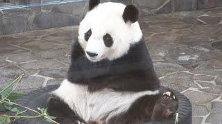 きょうのタンタン+王子動物園4K  タンタンが住む街、神戸  タンタンと素敵な時間を  #2020年10月13日