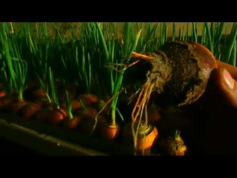 Выгонка зелёного лука. Первый блин комом.