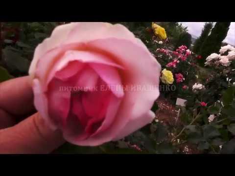 ОСОБЕННОСТЬ розы ПЬЕР ДЕ РОНСАР (Pierre de Ronsard). Жёлтая роза спрей