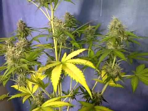 black jack automatic grow