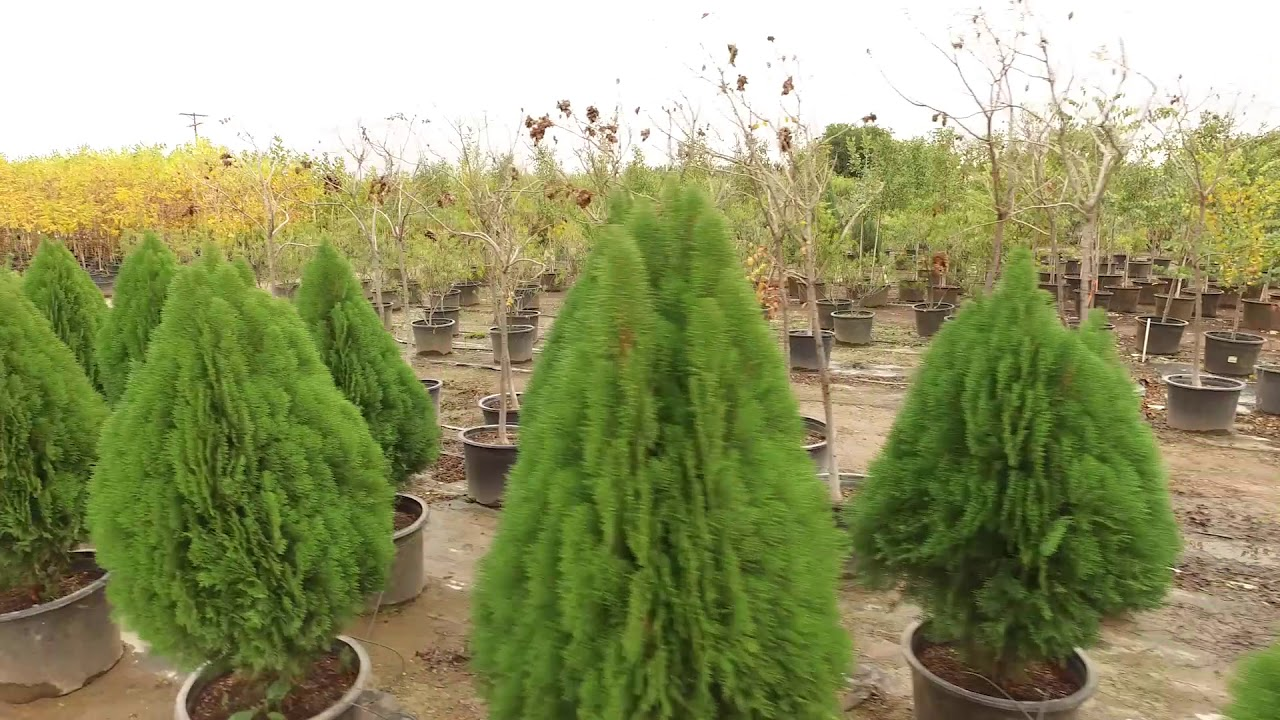 Sunland Nursery Trees For Retail Nurseries And Landscape Professionals
