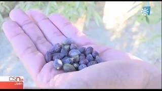 Pérdidas entre un 15 y un 20% de cosecha en el olivar de secano jiennense