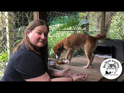 Melbourne, New Guinea Singing Dog