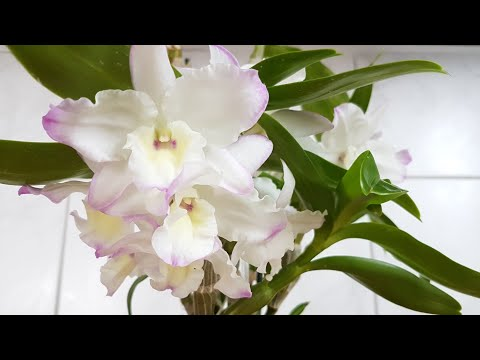 66. Мой уход за ДЕНДРОБИУМОМ НОБИЛЕ. Как добиться цветения? Dendrobium Nobile в ПОЛИСТИРОЛЕ