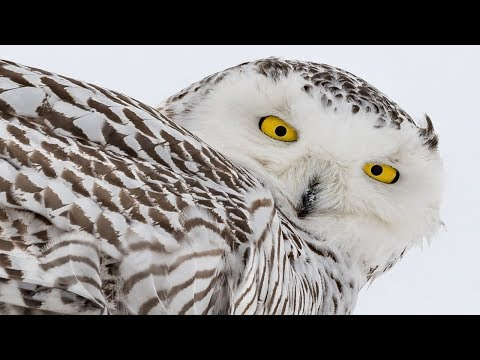 Nikon D850 Meets the Rare and Beautiful Snowy Owl - D500 - Nikkor 200-500