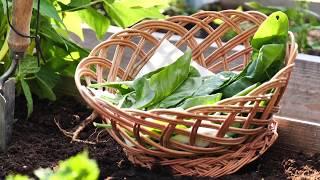 Cultivarea și îngrijirea spanacului