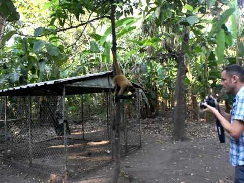 Feeding Spider Monkeys At Puerto Barillas, Usulutan, El Salvador..MOV