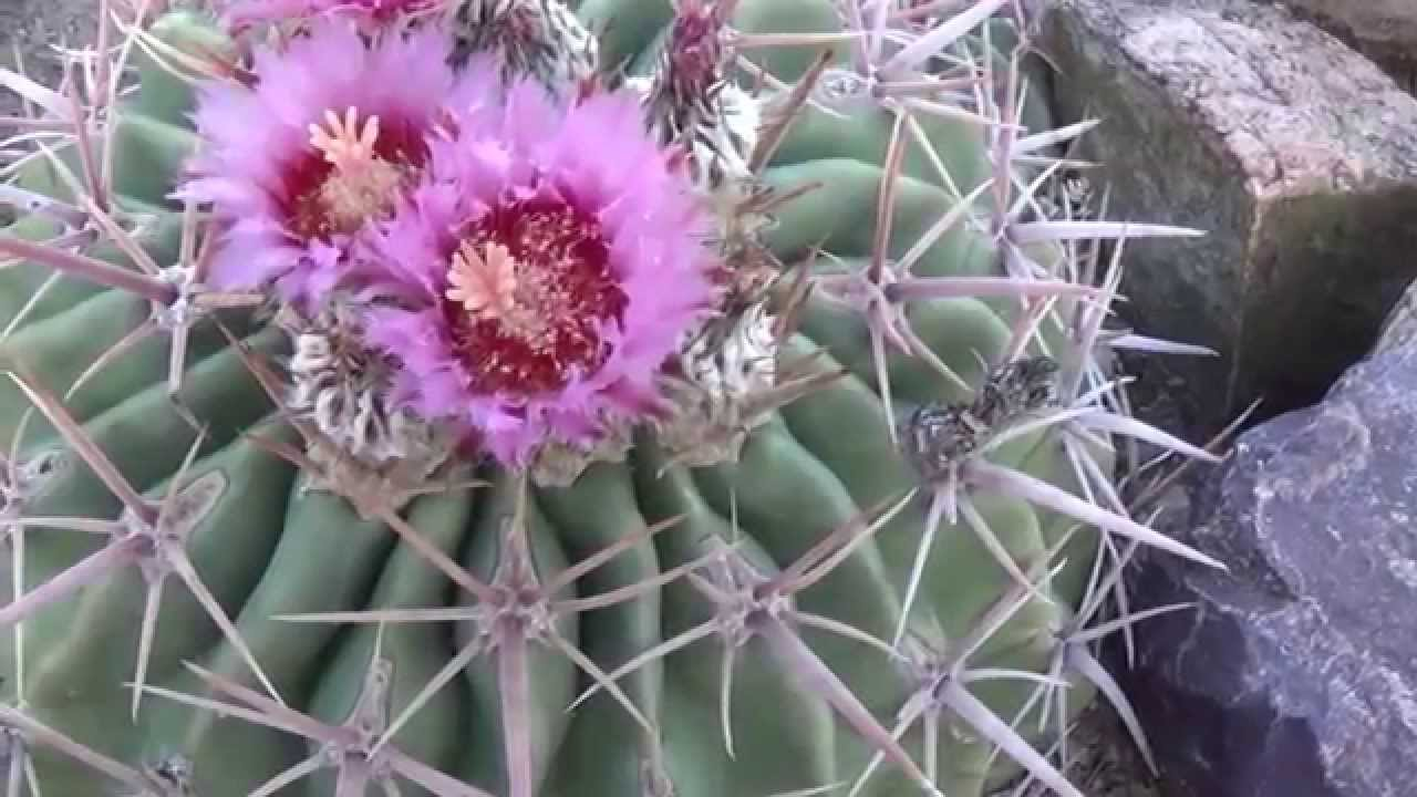 Texas Horse Crippler Cactus Flowers Fruit Youtube
