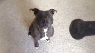 Frank - Staffordshire Bull Terrier - Tricks