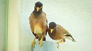 Various notes of Calls or Song Speech by Common myna pair