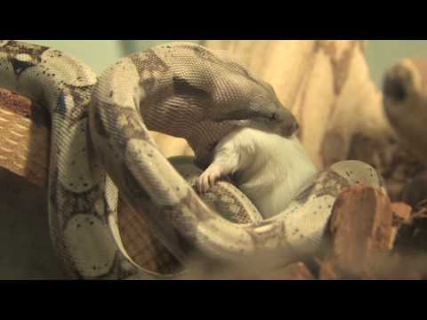 Colombian Red Tailed Baby Boa Eats a Mouse ( HD )
