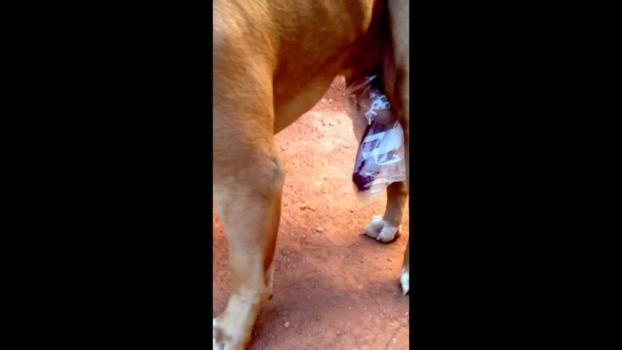 insemination Artificial Insemination (A.I) this is a Artifical Insemination between too  Pitbull like view share - YouTube