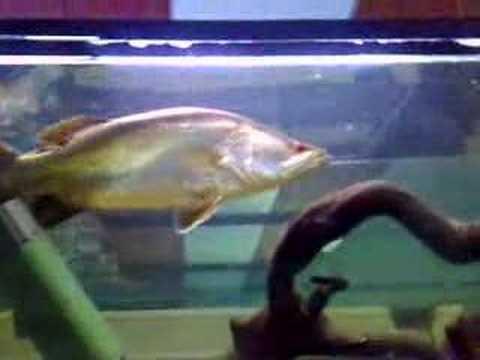 Barramundi, saratoga/Jardini, archers,  bass & a native eel